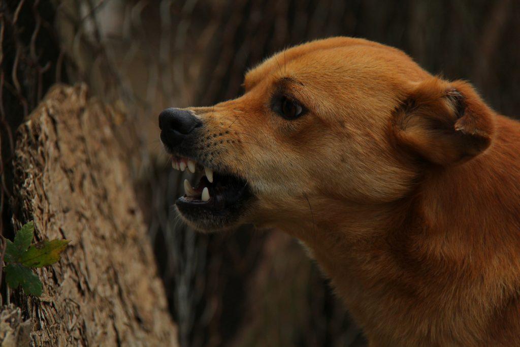 Ein knurrender zähnefletschender Hund. Geschieht dies in unangemessenen Situationen, setzt die Hundeverhaltenstherapie an.