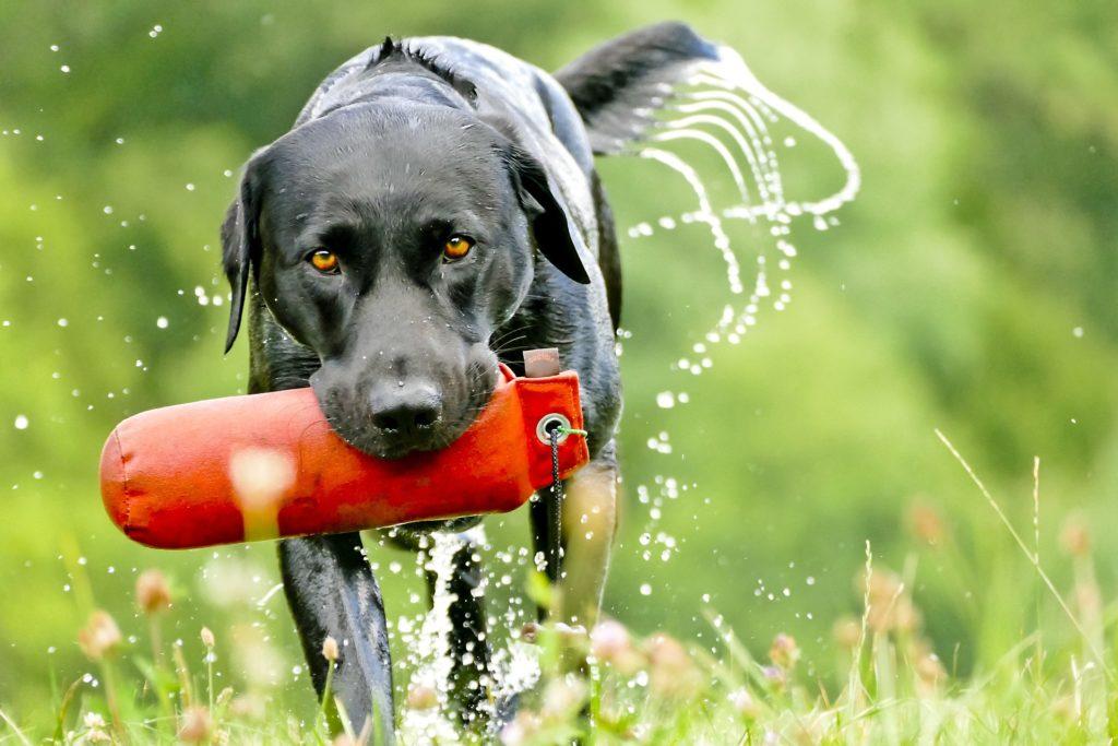 Das Apportieren ist eine artgerechte Beschäftigung für den Hund